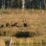 Four Grizzlies feeding on a moose